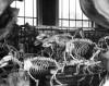 L'Ours blanc (Ursus maritimus), Galerie d'anatomie comparée, Paris