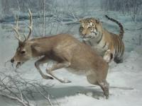 Siberian Tiger and Sika Deer, Museo di Storia Naturale Milan