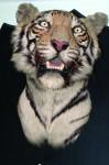 Tiger Head No. 773, Bhopal, 21st April 1932