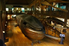 § 1 i A. W. Malm's last will & testament: The specimen must not be called anything but 'The Malm Whale' (the only stuffed blue whale in the world)