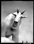 1-Mt_Goat_portrait